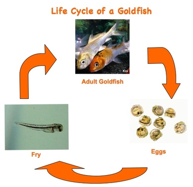 Life cycle common goldfish for Fish life cycle